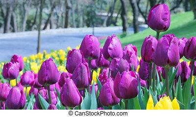 tulip view