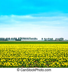 Tulip yellow blosssom flowers field in spring. Holland or Netherlands.