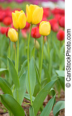 Tulip, Yellow tulips and red tulips in spring season
