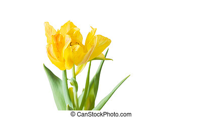 tulipa, branca, fundo amarelo