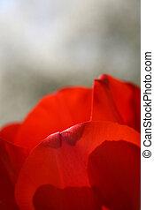 tulipa, brilhante vermelho