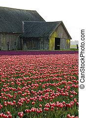 tulipa, celeiro