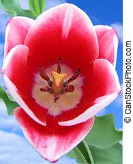 tulipa, close-up