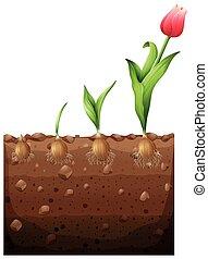 tulipa, crescendo, de, subterrâneo