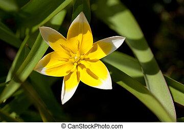 tulipa, gesneriana, l.