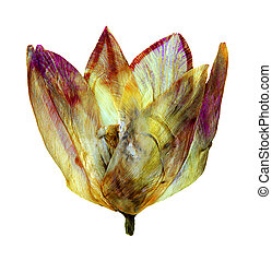 Tulipa in herbarium - Pressed and dried flower of Tulips (...