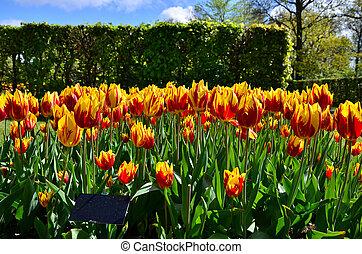 Tulipa mickey mouse flowers in dutch spring garden Keukenhof