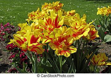 Tulipa Monsella, Double early tulip