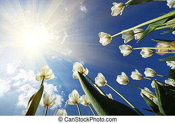 tulipan, blomster, hen, himmel, baggrund