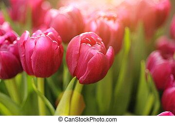 tulipan, blomster