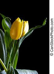 tulipan, czarne tło, żółty