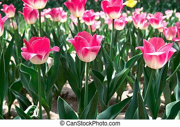 tulipan, kwiaty