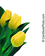 tulipanes, aislado, amarillo, eps, brillante, white., 8