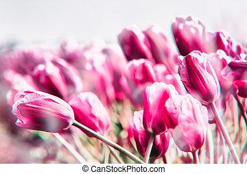 tulipanes, campo, en, el, países bajos