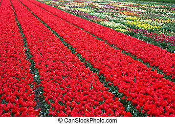 tulipanes, campo, plano de fondo