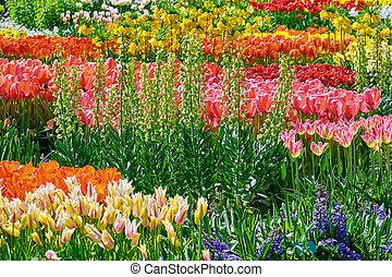 tulipanes, cantero