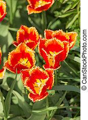 tulipanes, cicatrizarse, en, primavera