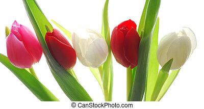 tulipanes, colorido, ramo