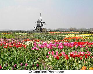 tulipanes, con, un, molino, en, el, primavera, de, el,...