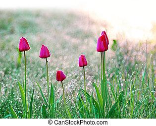 tulipanes, después de lluvia