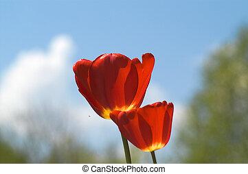 tulipanes, en, cielo