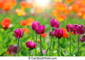 tulipanes, en, el, campo