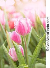 tulipanes, en, el, jardín