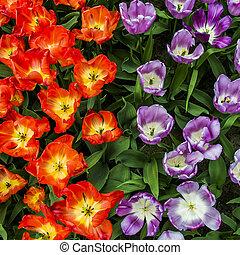 tulipanes, en, el, keukenhof, jardín, países bajos
