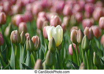 tulipanes, en, el, primavera