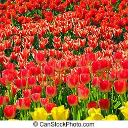 tulipanes, en, jardín, kukenhof, parque, holanda, países bajos