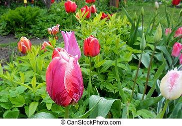 tulipanes, en, jardín