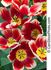 tulipanes, en, keukenhof, jardín, lisse, países bajos
