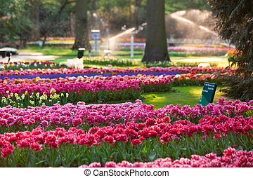 tulipanes, en, ocaso, light.