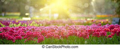 tulipanes, en, ocaso, luz