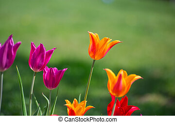 tulipanes, en, primavera