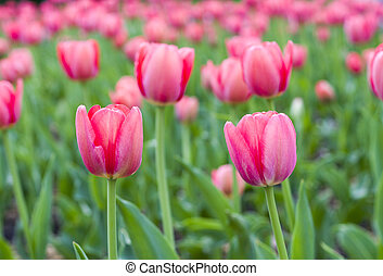 tulipanes, en, primavera, garden., naturaleza, fondo.