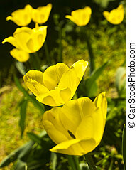 tulipanes, en, primavera, jardín