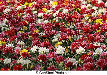 tulipanes, en, primavera, países bajos