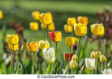 tulipanes, en, un, primavera, jardín