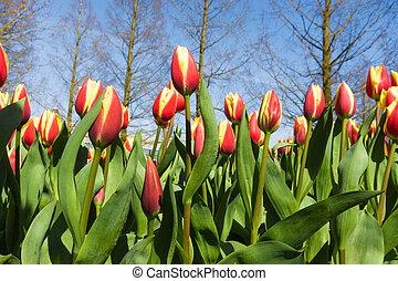 tulipanes, encima, un, cielo azul, fondo., fresco, primavera, tulipanes, con, cielo