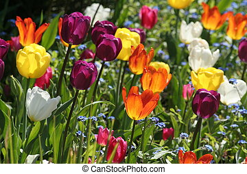 tulipanes, hermoso