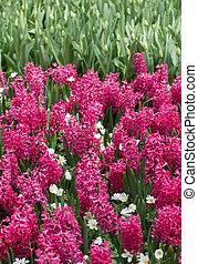 tulipanes, narcisos, y, jacintos, florecer, en, un, jardín