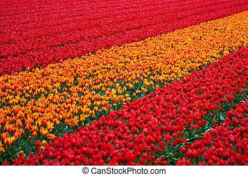 tulipanes, plano de fondo, campo