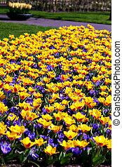 tulipanes, y, azafranes