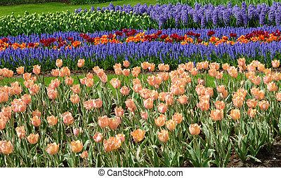 tulipanes, y, bluebells