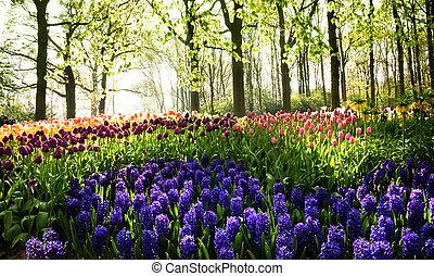 tulipanes, y, jacintos, en, primavera