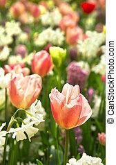 tulipanes, y, narcisos, en, blanco, y, pastelcolors