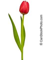 tulipano, bianco rosso