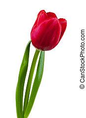 tulipano, bianco rosso, fondo