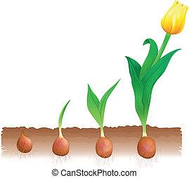 tulipano, crescita
